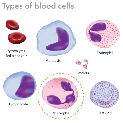 Blood is composed of three main types of cells: Red blood cells, platelets and white blood cells which include neutrophils